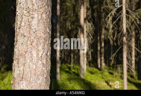 Close-up of an European growing pine tree ( pinus sylvestris ) trunk bark in the taiga forest , Finland