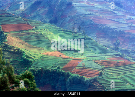 Hillsides planted with tea plantations near the Dieng Plateau in Central Java Indonesia - Stock Photo