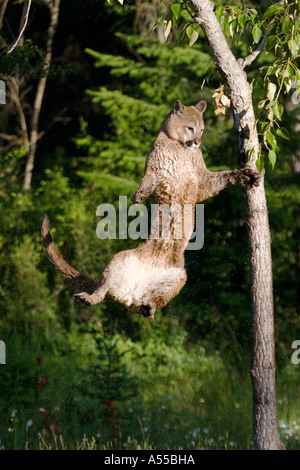 Puma (felis concolor) jumping upstairs - Stock Photo