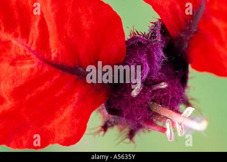 Cuphea Firecracker flower. - Stock Photo