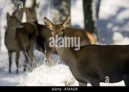 Red Deer, Rothirsch, Cervus Elaphus, Europe - Stock Photo