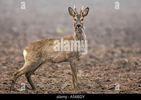 Reh lat capreolus capreolus Rehbock im Feld Jagd Saeugetier verhoffend aufmerksam - Stock Photo