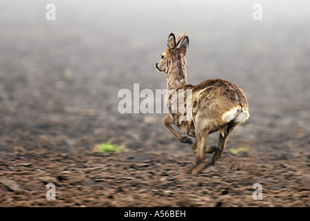 Reh lat capreolus capreolus Rehbock flüchtend flüchtig laufend Geschwindigkeit im Feld Jagd Saeugetier verhoffend - Stock Photo