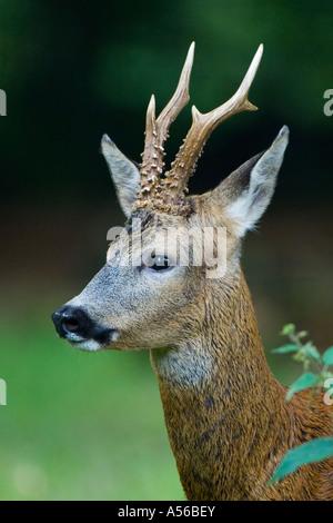 Reh lat capreolus capreolus Rehbock Jagd Saeugetier im Sommerhaar im Wald Blattzeit - Stock Photo