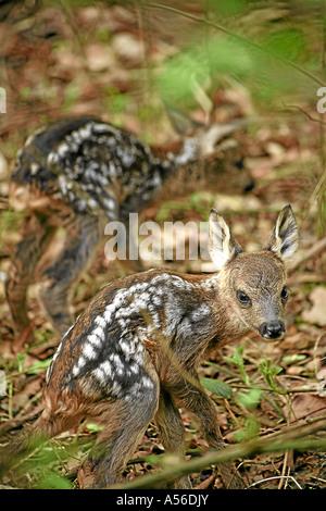 Roe Deer Fawn Rehkitze Europe Germany - Stock Photo