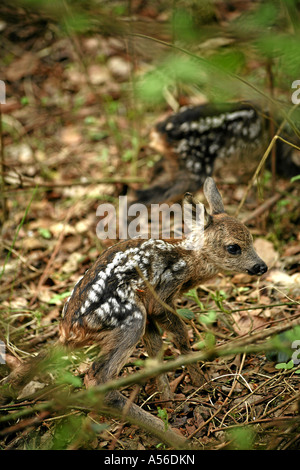 Roe Deer Fawn Europe - Stock Photo