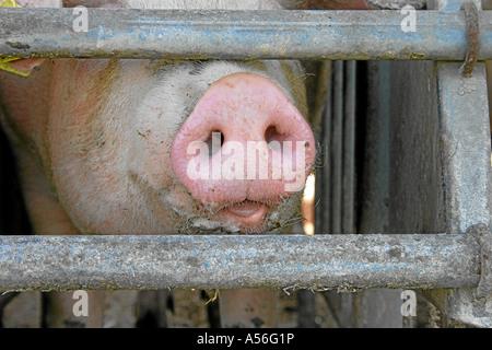 Mastschwein im Stall - Stock Photo