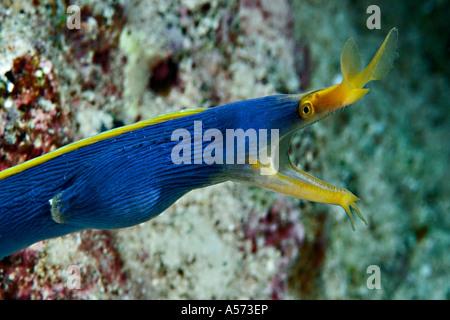 Geistermuraene Ghost Moray Gymnothorax Phasmatodes murene muraene moray morena western indian ocean actinopterygii - Stock Photo