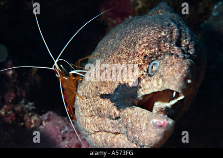 Riesenmuraene Giant Moray Gymnothorax Javanicus actinopterygii moray eels moray muraene murene murena indo pacific - Stock Photo