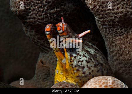 Tigermuraene Scuticaria Tigrina Tiger Reef Eel uropterygiinae actinopterygii ray finned fishes eels tiger eel tigermoray - Stock Photo