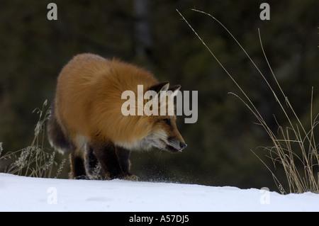 American Red Fox Culpes vulpes fulva on snow Montana USA - Stock Photo
