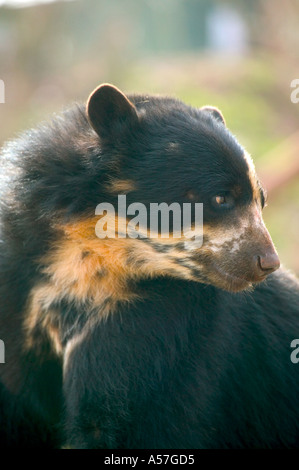 Lovely young spectacled bear - Stock Photo
