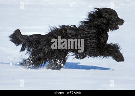 A fast running Berger de Brie dog in winter - Stock Photo
