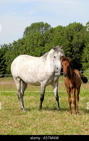 Mangalarga Marchador Horse - Stock Photo