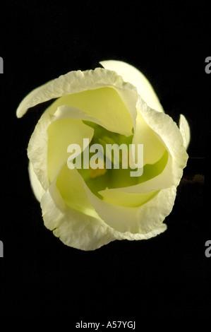 Eustoma Grandiflorum Lisianthus Russllianus Flower Close Up - Stock Photo