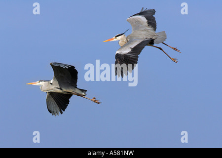 Couple of flying grey herons - gray herons - european common herons (Ardea cinerea) - Stock Photo