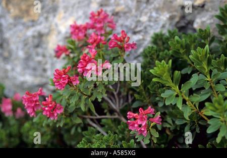 Alpine roses Rhododendron ferrugineum - Stock Photo