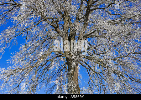 Hoarfrosted top of a pedunculate oak (Quercus robur) - Stock Photo