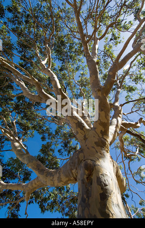 Spotted Gum (Eucalyptus maculata) looking up trunk into canopy, Western Australia - Stock Photo