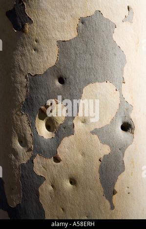 Spotted Gum (Eucalyptus maculata) bark pattern, Western Australia - Stock Photo
