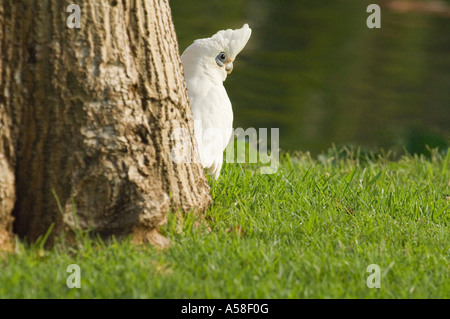Little corella (Cacatooa sanguinea) standing next to the tree, Queens Park, Perth, Western Australia - Stock Photo