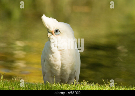 Little corella (Cacatooa sanguinea) adult, wild, Queens Park, Perth Western Australia - Stock Photo