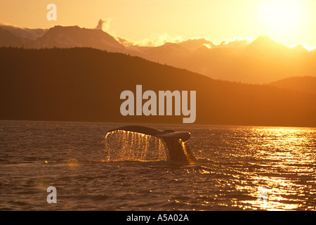 This Humpback whale is diving for food at sunset in the Inside Passage near Juneau Alaska - Stock Photo