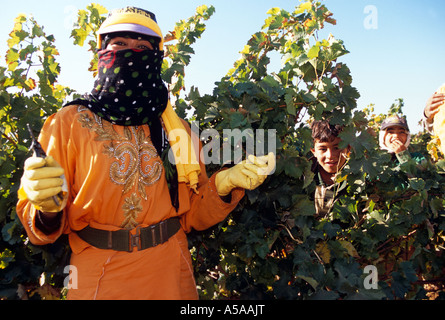 Bedouin woman working in vineyard, Bekka Valley, Lebanon - Stock Photo