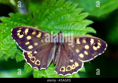 Speckled Wood butterfly Pararge aegeria on a stinging nettle leaf in Epping Forest - Stock Photo