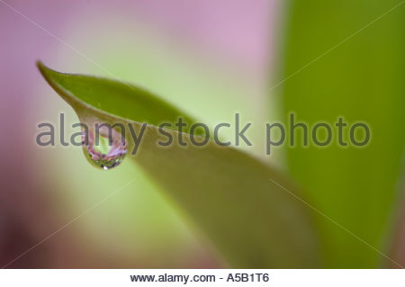 Blue bead lily (Clintonia borealis) Raindrop on leaf in spring. Killarney Provincial Park Ontario - Stock Photo