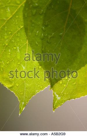Trembling aspen (Populus tremuloides) Raindrops on new leaves in spring, Ontario - Stock Photo
