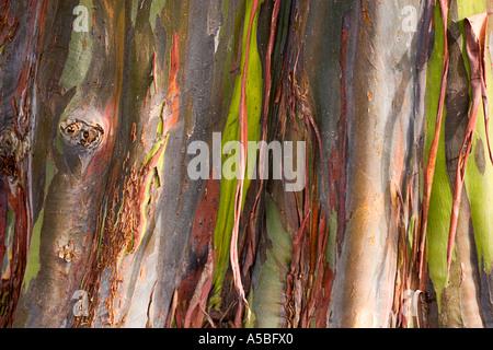 Bark of eucalyptus deglupta rainbow eucalyptus - Stock Photo