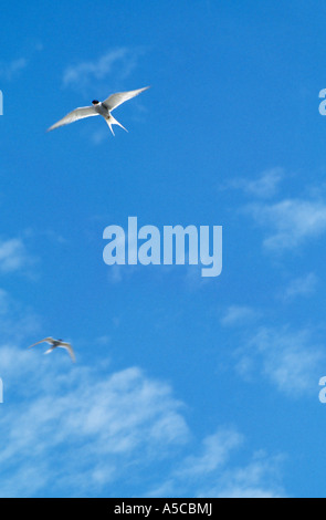 ireland, co, county kerry, dingle peninsula,  forked tailed tern seabirds flying against blue sky, wild atlantic - Stock Photo