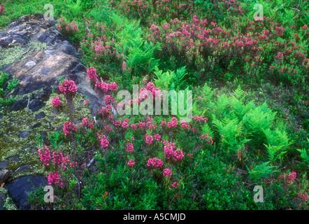 Sheep laurel (Kalmia angustifolia) with bracken fern among rock outcrops, rock outcrop, Greater Sudbury, Ontario, - Stock Photo