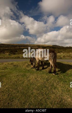 Cornish Wild ponies on Bodmin Moor United Kingdom - Stock Photo