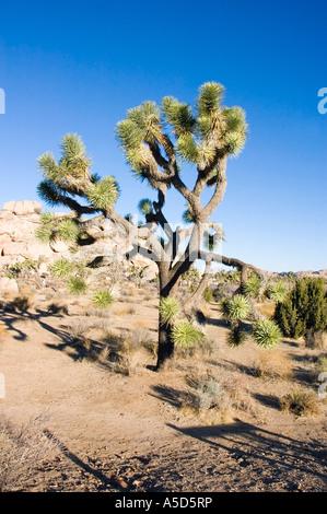 Joshua Tree, yucca brevifolia - Stock Photo