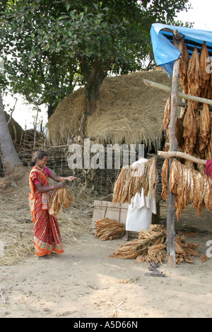 Tobacco growing village with all members of the village working to dry and sort the tobacco leaves.Orissa.India - Stock Photo