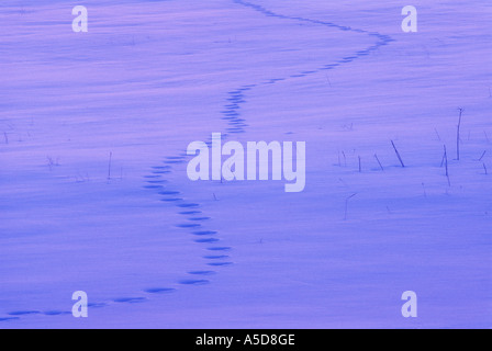 Aged fox tracks in late winter field  Greater Sudbury Ontario - Stock Photo