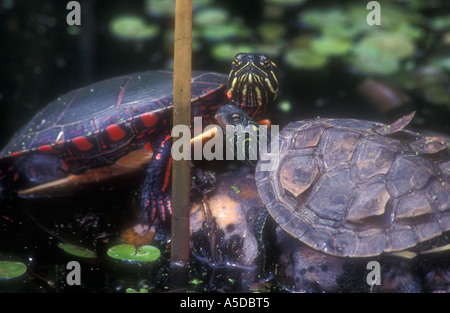 Painted turtle Chrysemys picta with Map turtle Graptemys geographica Basking at edge of pond Point Pelee National - Stock Photo