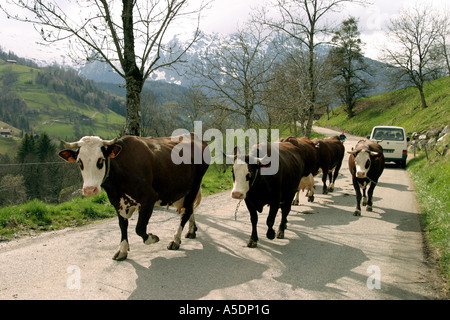 A herd of dairy cows walking along a mountain road, Haute savoie, French Alps, France - Stock Photo