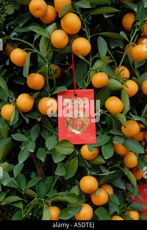 miniature orange tree with red envelopes attached during Chinese New Year in Hong Kong China - Stock Photo