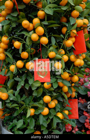 Miniature orange trees with red envelopes attached during Chinese New Year in Hong Kong China - Stock Photo