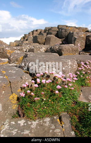 Northern Ireland County Antrim Giants Causeway thrift flowers growing on rocks - Stock Photo