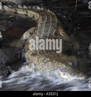 Nile crocodile (Crocodylus niloticus), in water, Kenya, Tsavo West National Park - Stock Photo