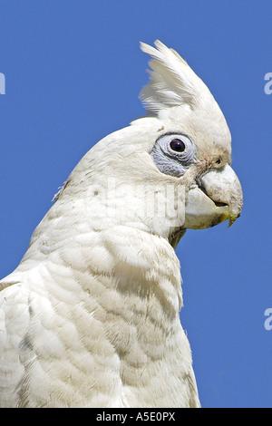 little corella (Cacatua sanguinea), portrait, Australia, Northern Territory, Litchfield NP - Stock Photo