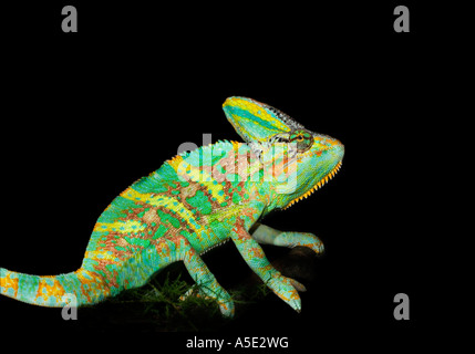 1 one single green yellow helmet chameleon on black plain background cut out cutout Veiled - Stock Photo