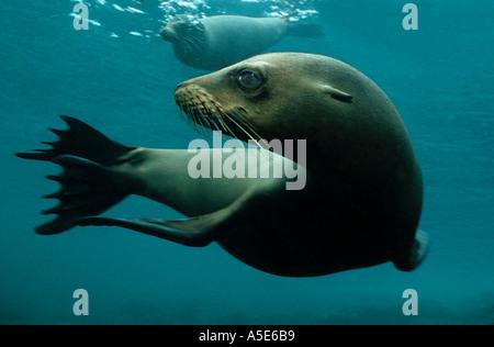 playing sealions under water Zalophus wollebaeki - Stock Photo