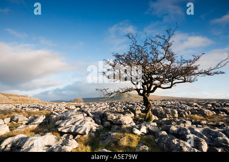 Withered tree growing through limestone pavement on the slopes of Whernside - Stock Photo