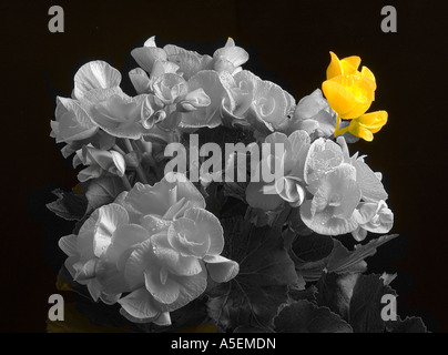Begonia..odd one out.(Begoniaceae) - Stock Photo