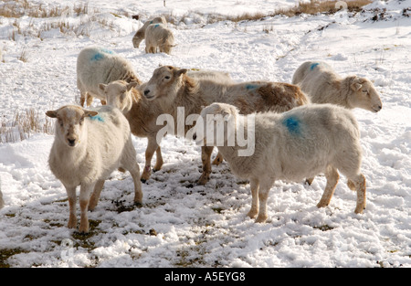 Flock of sheep forage for food in winter on snow covered mountainside in Brecon Beacons National Park Blaenavon - Stock Photo